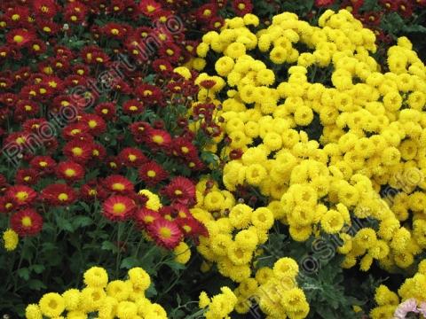 Желтая бордюрная хризантема Мишаль и бордовая Юрий Богатиков.