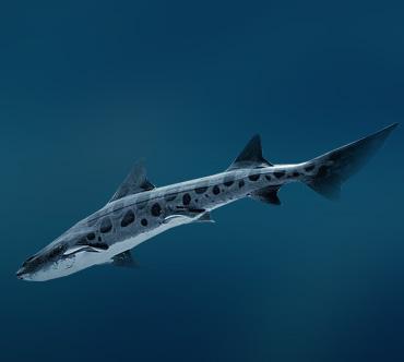 До 200 см. Triakis semifasciata.  Хрящевые рыбы.  Тихий океан.  Обитание.