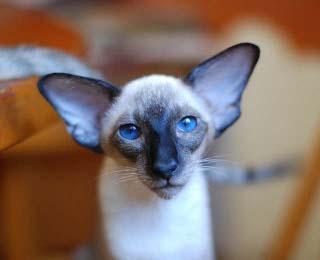...настоящая сиамская кошка хоть раз была.  Сиамы верные, преданные и...
