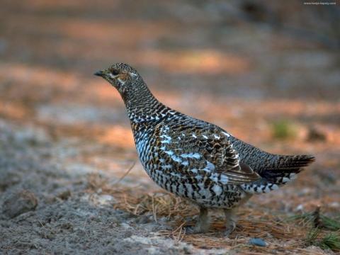 СЕРАЯ КУРОПАТКА (Perdix perdix), вид птицы семейства фазановых.
