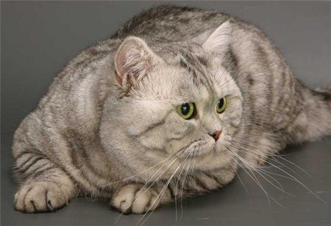 Фото находится также в галереях: котята британские